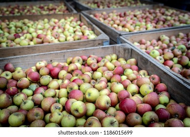 Beautiful red and green english apples fill large wooden crates, awaiting pressing into delicious Cambridgeshire cider.