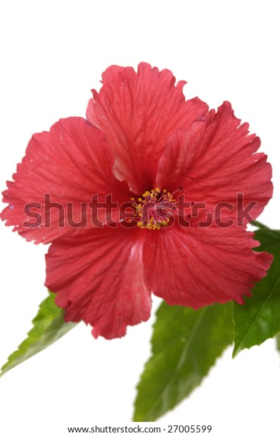 Beautiful red hibiscus flower with green leaves