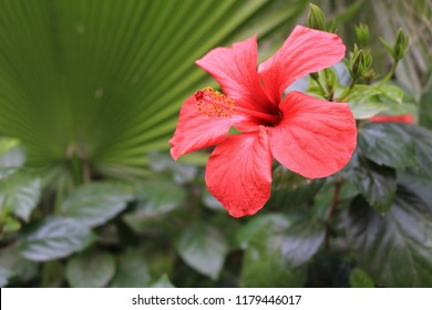 Beautiful red hibiscus flower growing in the wild with lush background of tropical green leaves