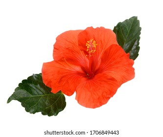 beautiful red hibiscus flower isolated on white background