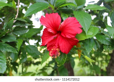 Beautiful Red Hibiscus, Malvaceae,rose mallow( ἰβίσκος,hibiskos)In the Garden with green Background