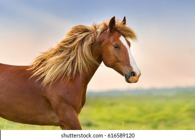 Beautiful red horse with long blonde main portrait in motion
