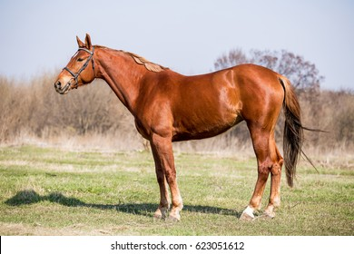 Beautiful red horse outdoors