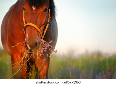 Beautiful red horse in the summer field. Horse head in the bridle, holding flowers in the mouth. A mare grazing in a flower meadow. Animal on nature background, during sunset, close up, copy space.