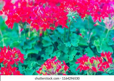 Beautiful red hybrid ivy-leaf geranium flowers (Pelargonium peltatum) on flowerbed. Pelargonium peltatum, also known as ivy-leaf geranium and cascading geranium. It is native to southern Africa.