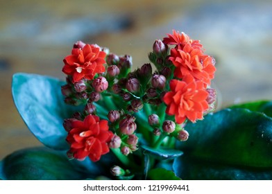 Beautiful red kalanchoe are blooming but some flower is bud. The kalanchoe has flower in bouquet.