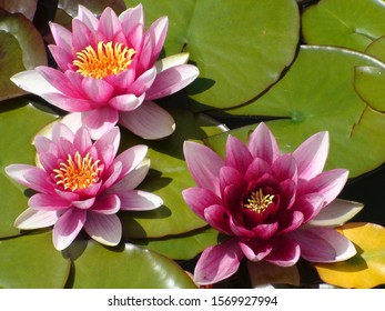 Beautiful red lotuses on a background of green leaves in the water