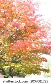 Beautiful red maple leaves in autumn.