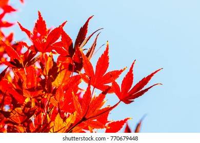 Beautiful red maple leaves in nature, autumn