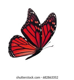 Beautiful red monarch butterfly isolated on white background.
