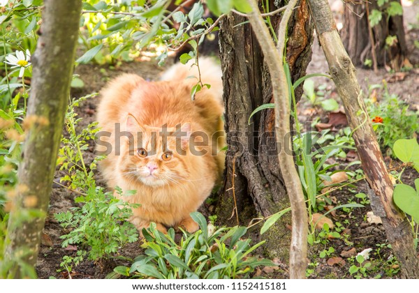 Beautiful red orange cat kitty outdoors in garden