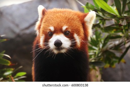 Beautiful red panda or lesser panda (Ailurus fulgens)