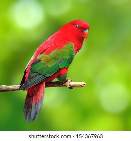 Beautiful red parrot bird on green background