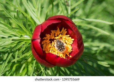 A beautiful red peony growing in natural conditions is called Voronets.Inside the flower beetle Tropinota hirta.Macro shooting on top of the green leaves of the flower.