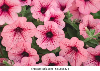 Beautiful Red Petunias (Petunia hybrida) in garden soft focus