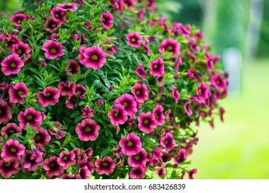 Beautiful Red Petunias - Petunia hybrida in garden soft focus
