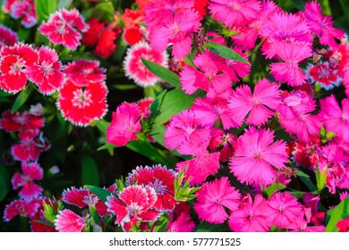 Beautiful Red Pink Bravo Chinensis dianthus, China pink, Rainbow pink flower (Dianthus chinensis) in the garden on the sunny day. Selective focus