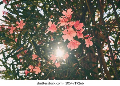 Beautiful red and pink nerium oleander tropical tree flowers with nice bokeh background toned in vintage style