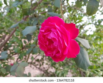 Beautiful red pink and other colors rose floers and petals from my garden