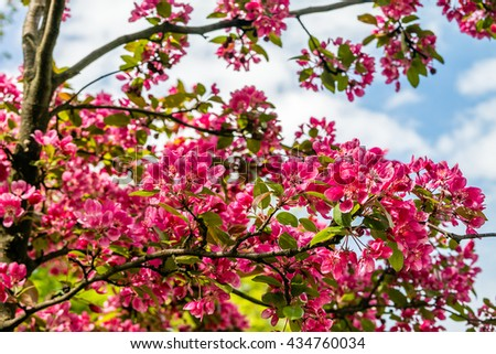 Beautiful red pink purple flowers crab stock photo edit now beautiful red pink and purple flowers of crab apple tree with the botanical name of mightylinksfo
