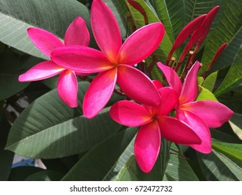 Beautiful red plumeria