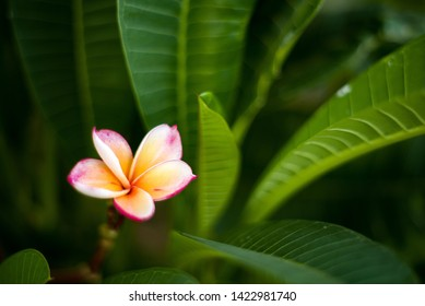 Beautiful Red Plumeria flower for background or used for miscellaneous