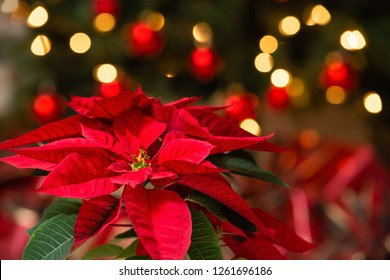 Beautiful red Poinsettia (Euphorbia pulcherrima), Christmas Star flower. Festive red and golden holiday bokeh background.