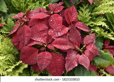 beautiful red Poinsettias with water droplets