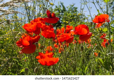Beautiful red poppies close up in a lush greenery