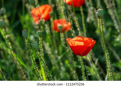 Beautiful Red poppies in field at sunset light.
