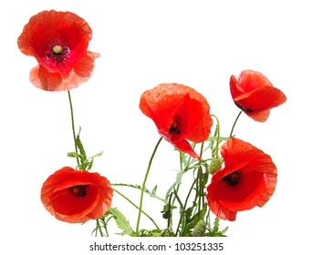 beautiful red poppies isolated on white