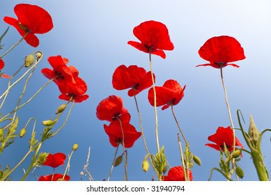 beautiful red poppies on clear blue sky