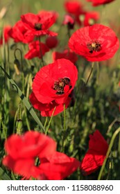 Beautiful red poppies in summer on a green meadow