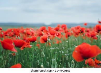 Beautiful red poppy flowers in a field.