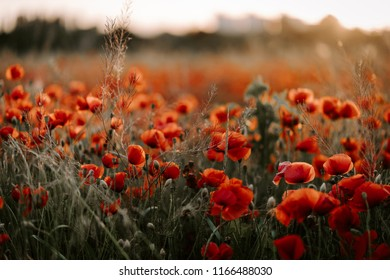 Beautiful red poppy flowers field during the sunset