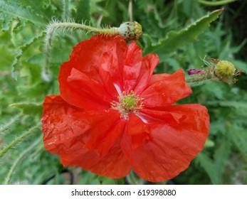 Beautiful red poppy wildflower.