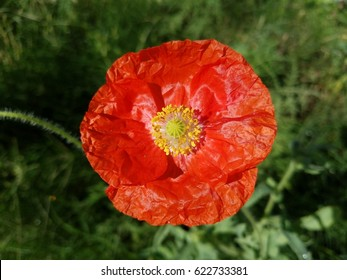 A beautiful red poppy wildflower.