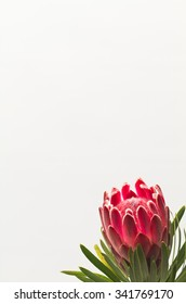 Beautiful red Protea on light background with large copy space