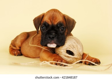 Beautiful red puppy lying next to a length of rope, intending to play with him