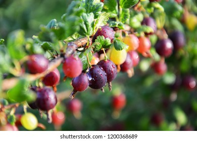 Beautiful red ripe gooseberry on a branch,