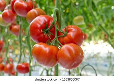 Beautiful red ripe tomatoes grown in a greenhouse. Ready to harvest