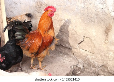 A beautiful red rooster surrounded by its hens in the farmstead. Feeding and breeding poultry.