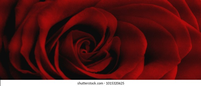 Beautiful red rose background. Abstract rose. Red rose. Love background.