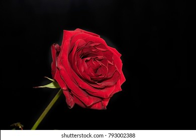 beautiful red rose close up