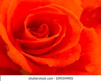 beautiful red rose, closeup