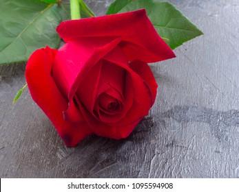 beautiful red rose, closeup