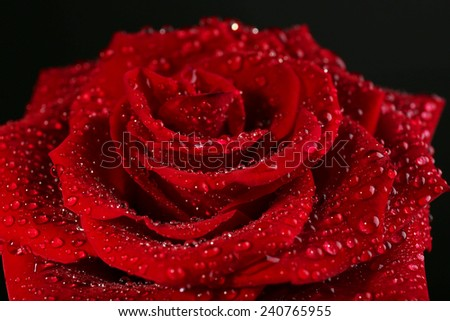 Beautiful red rose close-up