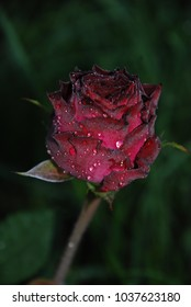 beautiful red rose in drops of morning dew