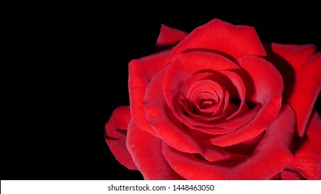 beautiful red rose flower close up isolated on black background