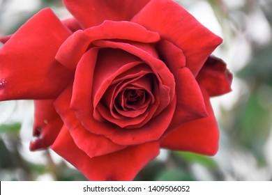 Beautiful Red Rose Flower at gayatri ashram in haridwar